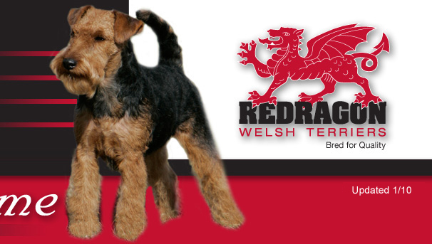Welsh Terrier Rescue Florida Redragon Welsh Terriers